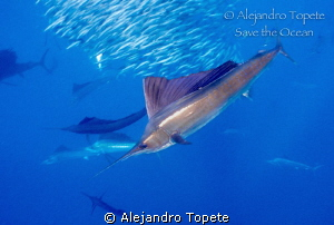 Sail Fish hunting, Isla Mujeres Mexico by Alejandro Topete 
